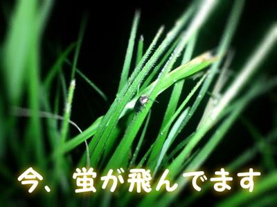黒川温泉にある旅館 壱の井付近に蛍が飛んでいます^^