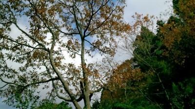 くぬぎの木