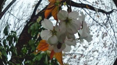 山桜25.4.4現在