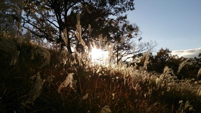金色のススキ黒川温泉